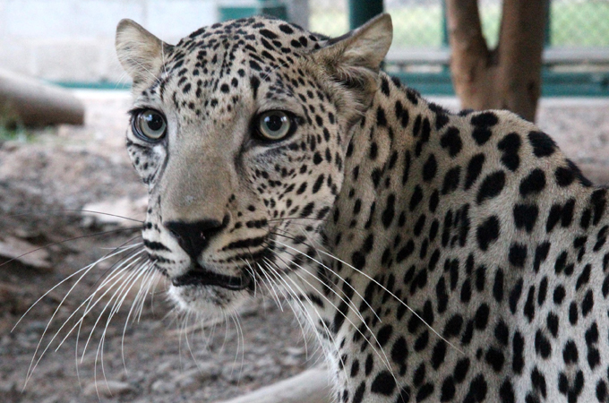 Arabian Leopard big cat conservation