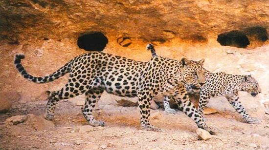 Arabian leopard conservation big cats panthera