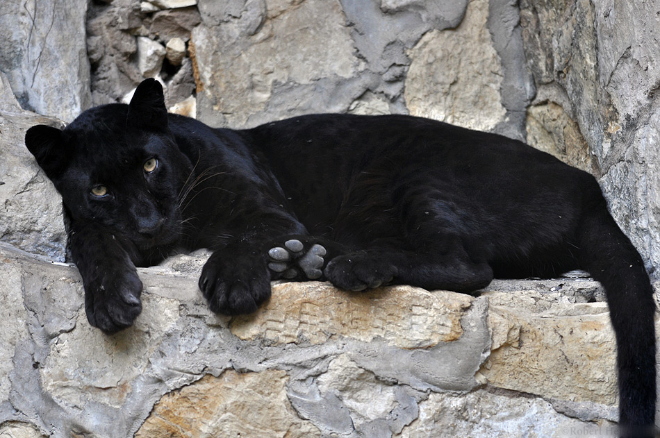melanism in big cats conservation