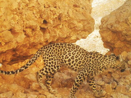 arabian leopard conservation big cat conservation panthera