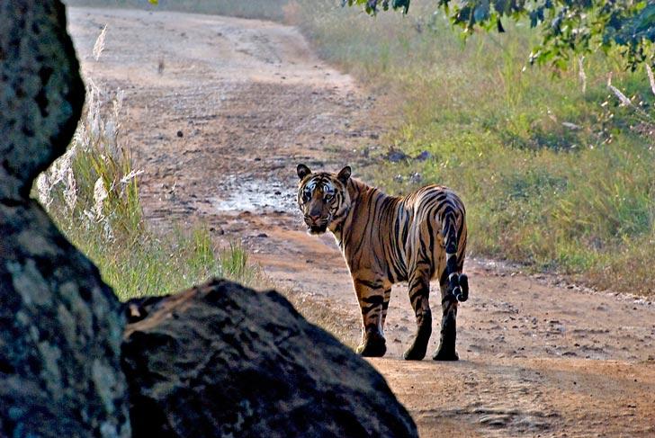 Human Tiger Conflict