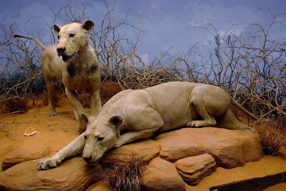 Tsavo Man eating lions big cat conservtation