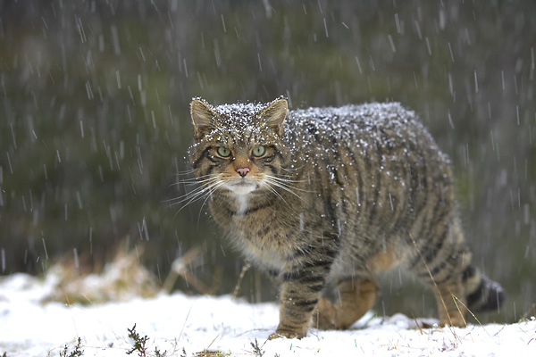 uk rewilding lynx panthera