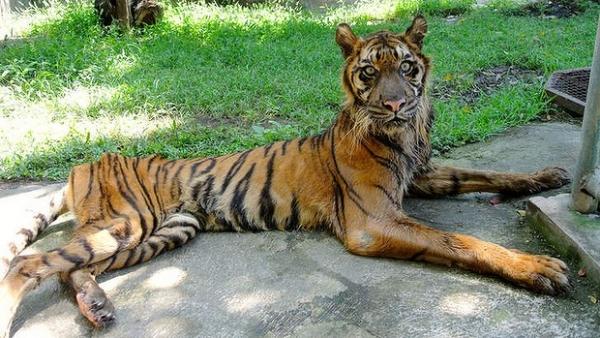 america big cat pets tiger panthera wildlife conservation big cat blog