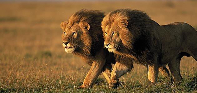 big cat blog evolution of lions